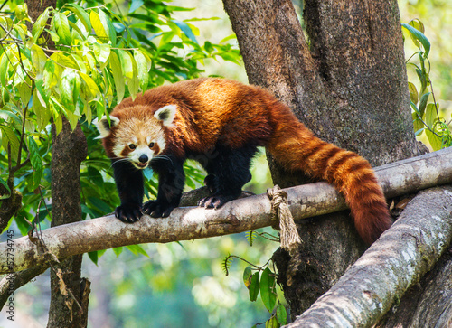 Canvas Print Red panda in nature