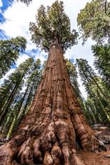 Stablo generala Shermana u šumi divovske sekveje