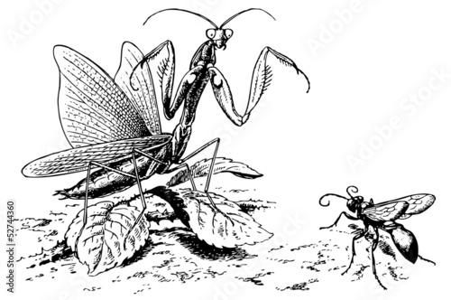 Fototapeta  Sphex and Mantis