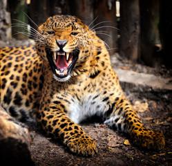 Obraz na płótnie Canvas Leopard