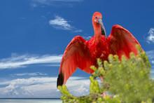 Red Ibis Bird On Deep Blue Sky Background