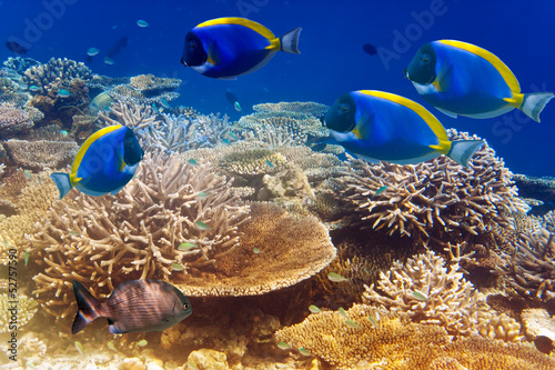 Tuinposter Onder water powder blue tang in the coral reef