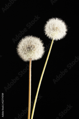 Beautiful dandelions with seeds on black background