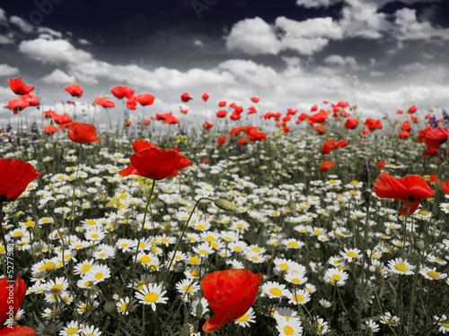 Fototapeta Poppies in a field in black and white obraz na płótnie