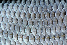 Real Roach Fish Scales Backgro...