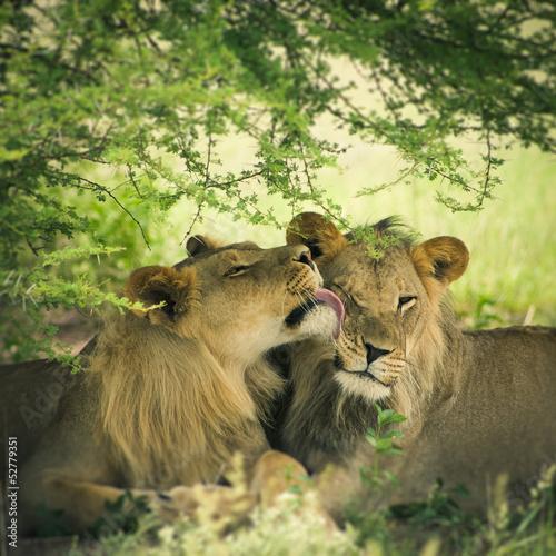 Kochająca para lwa i lwicy