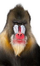 Close-up Of A Mandrill, Mandri...