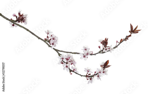 Láminas  Japanese Cherry branch, isolated on white