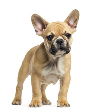 French Bulldog Puppy Standing, Looking At The Camera