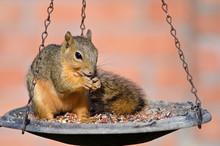 Young Fox Squirrel On Bird Fee...