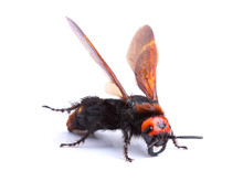 Mammoth Wasp (Megascolia Macul...