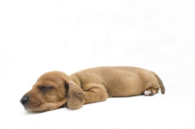Dachshund Puppy Dog ​​isol...