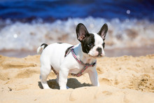 French Bulldog Puppy Playing On The Beach