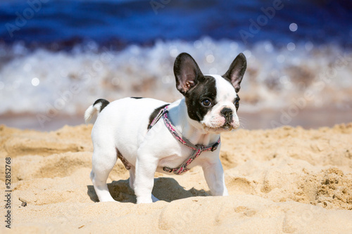 Poster Bouledogue français French bulldog puppy playing on the beach