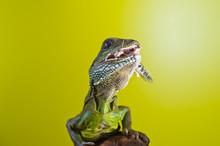 Portrait Of Beautiful Water Dragon Lizard Reptile Sitting On A B