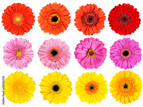 Collection of Fresh Gerbera Flowers Isolated on White Poster Mural XXL