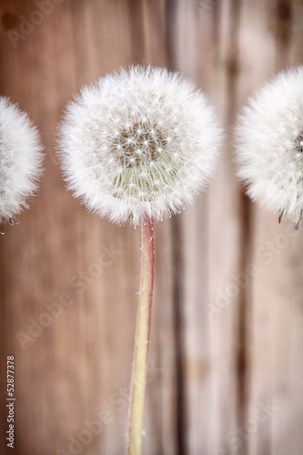 danelion fluff on wooden background
