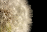 Beautiful dandelion with seeds on black background