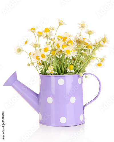 Foto op Canvas Madeliefjes Small chamomiles in watering can isolated on white