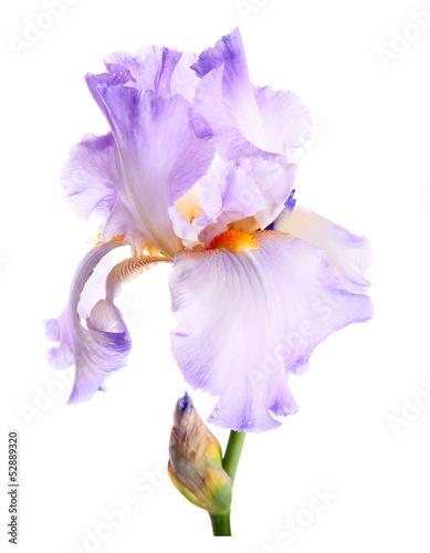 Poster Iris Iris flower. Isolated on white background