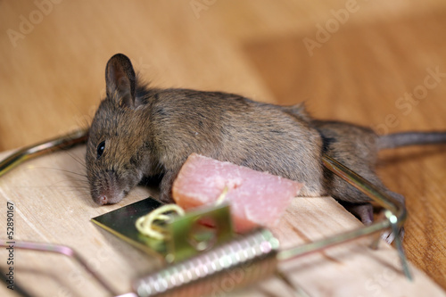Photo  Dead field mouse in a mousetrap
