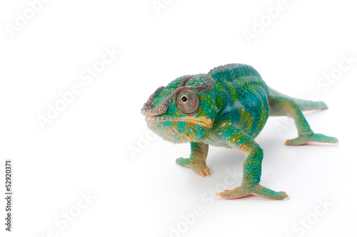 Photo sur Aluminium Cameleon pantherchamäleon 4