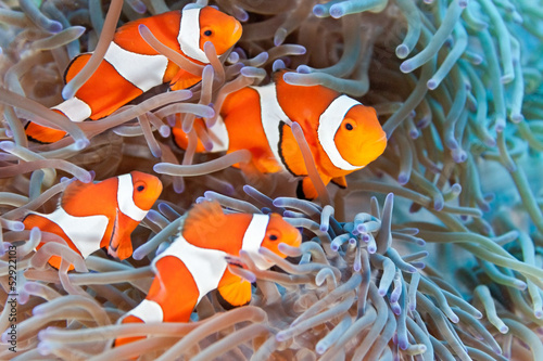 Canvas Prints Under water Clownfish