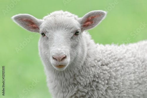 Autocollant pour porte Sheep Face of a white lamb