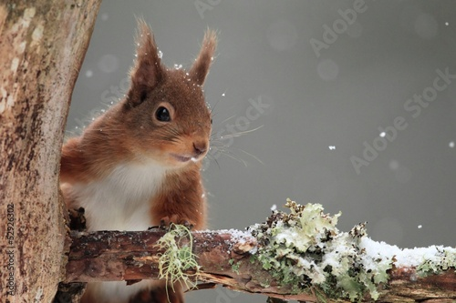 Fotografía  Red Squirrel (Sciurus vulgaris) in Falling Snow
