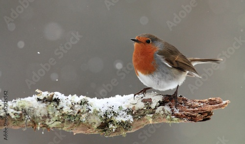 Robin in Falling Snow Canvas Print