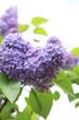 Beautiful, soft lilac blossom