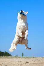 White Swiss Shepherd Dog