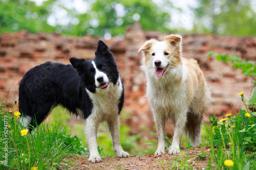 Foto Two Border Collies