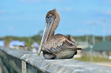 Pelican Resting On A Pier Florida, USA.