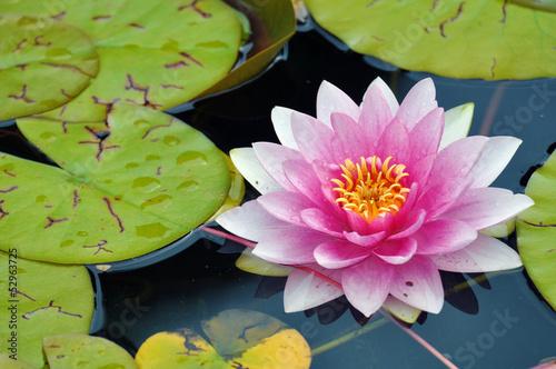 Tuinposter Waterlelies Seerose, Water Lily