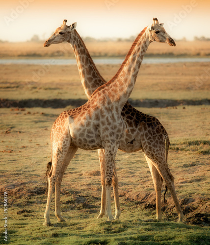 Two beautiful giraffes in Africa - 52966378