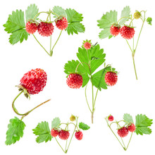 Collection Of Wild Strawberry ...