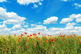 Fototapeta Fototapeta z niebem - red poppies on field and clouds over it