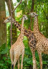 Three Giraffe Eating  Foliage.