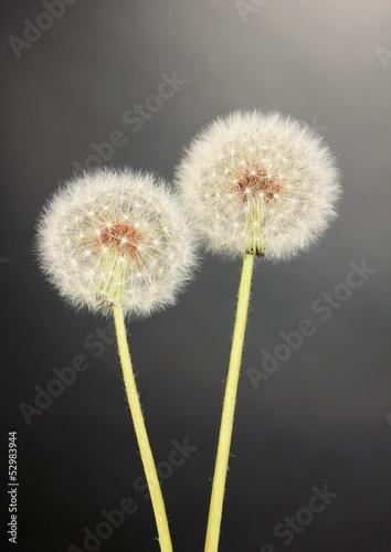 Dandelions on grey background