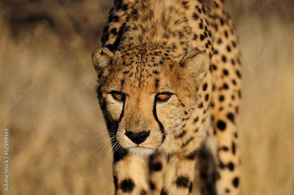 Foto-Schiebevorhang (ohne Schiene) - Gepard