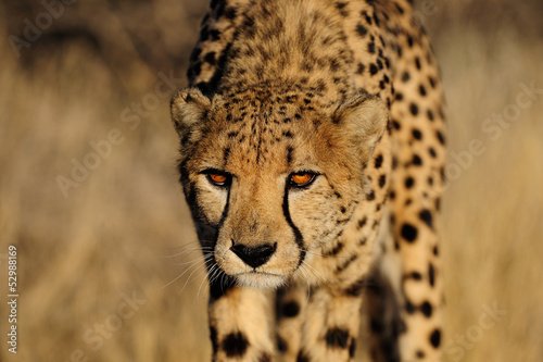 Foto-Rollo - Gepard (von Photohunter)