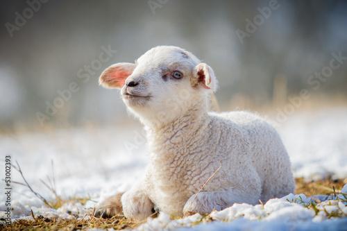 Foto op Canvas Schapen Lämmchen im Winter