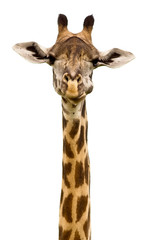 Fototapeta Giraffe head Isolated
