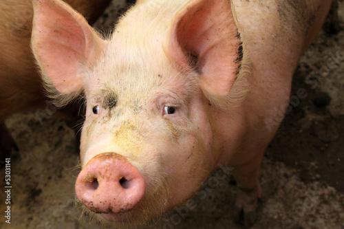 Fotografie, Obraz  live pigs in a farm, north china