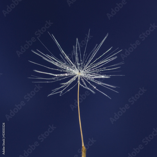 single dandelion seed with drops