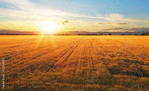Foto op Aluminium Platteland Sunset over wheat field.