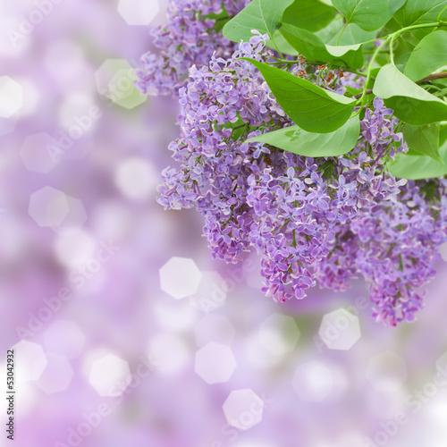 Naklejka premium Drzewo kwiatów bzu