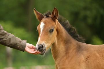 Ponyfohlen schnuppert an Hand