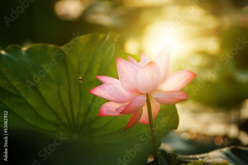 Garden Poster Lotus flower lotus flower blossom in the sunrise